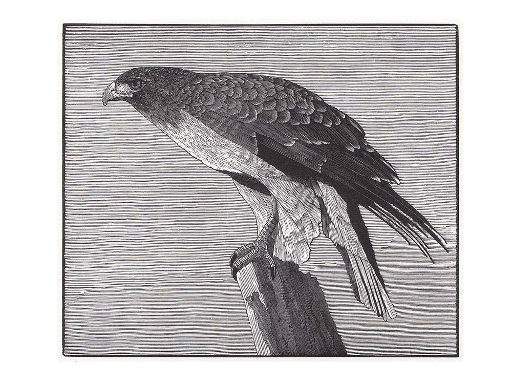 Richard Wagener Sonoma Hawk